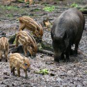 nowy minister rolnictwa środowiska Polska wyda 130 milionów złotych na płot na granicy polsko-białoruskiej, aby zapobiec migracji dzików