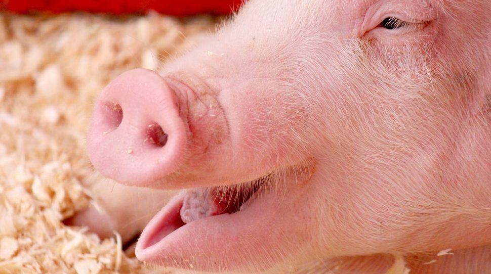 ogrodzenie Ukraina rozszerzyła embargo na polską wieprzowinę