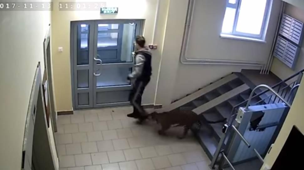 Rosjanin w Niżnym Nowogrodzie hoduje lamparta [+VIDEO]